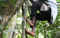 Tree Climbing Twa Pygmy